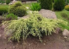 Juniperus squamata 'Holger' 40-50 cm clod