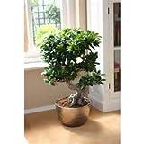 Cinesi rari Ficus Microcarpa Albero Semi 100pcs Cina Roots Sementes Bonsai Ginseng Banyan Garden albero all'aperto Fioriere