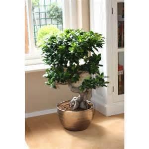 Ficus Bonsai, verschiedene