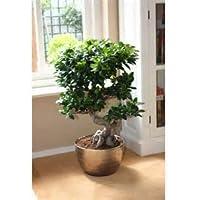 Cinesi rari Ficus Microcarpa Albero Semi 100pcs