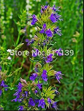 ASTONISH Erstauner SEEDS: DIY Hausgarten Pflanze 50 Samen Ysop Samen Ysop (Hyssopus) Bio Russian Heirloomsamen