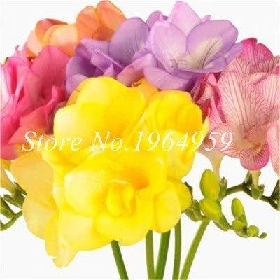 Shopmeeko Graines: Vase spécial coloré Bonsai Fleur Freesia Bonsai Décor rare orchidée Illuminez votre jardin personnel Bonsai 100 Pcs/Sac: 1
