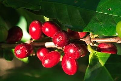 Arabica Kaffee Kaffeebaum 5 Samen von exoticsamen Samenraritäten aus aller Welt - Du und dein Garten