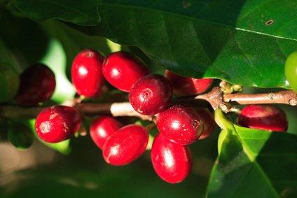 Arabica Kaffee Kaffeebaum 5 Samen
