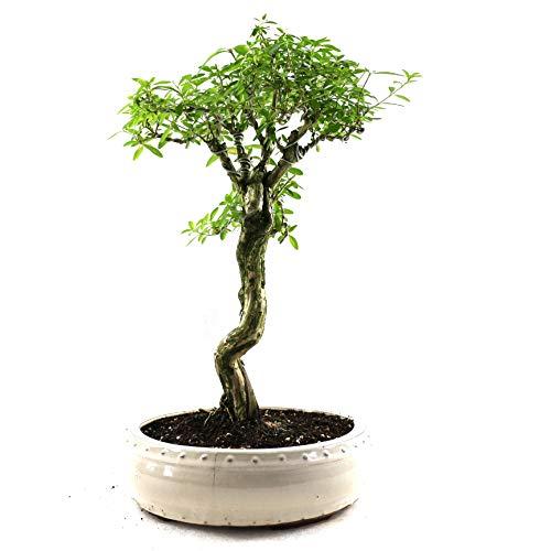 Bonsai Junischnee, Serissa foetida, 15 Jahre, 40 cm Höhe