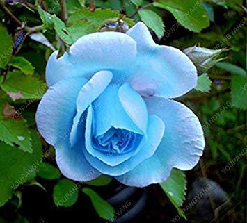 100pcs 20 sortes de graines Rose So Black Rose Charme Bonsai Graines de fleurs vivaces rares fleurs des plantes pour jardin Jaune clair