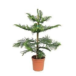 Araucaria araucana 10-20 cm hoch Seedeo/® Chilenische Andentanne Pflanze ca