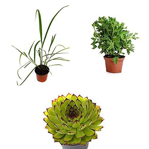 Kit 3 Plantas Que Repelen Mosquitos: 1 Citronela + 1 Geranio Antimosquitos + 1 Siempreviva para Picaduras
