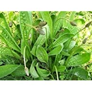 Shelled Warriors Ribwort Plantain 500 seeds- Grow and feed your tortoise