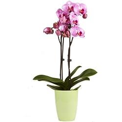 "Topfplanze ""Orchidee lila"" incl. dekorativem Übertopf"