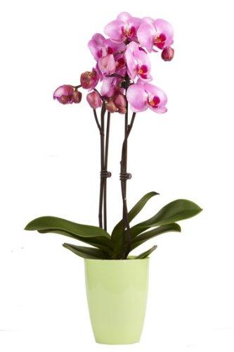 topfplanze-orchidee-lila-incl-dekorativem-ubertopf