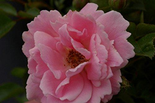 BCM  Blütenfarbe
