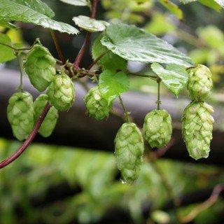 Hopfen - Humulus lupulus - starkwachsende Kletterpflanze von Native Plants
