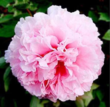 10pcs / sac de graines de pivoine, jaune, graines de fleurs de pivoine rose chinoise belles graines de bonsaï plantes en pot pour le jardin de la maison 4