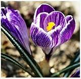 nave libera Zafferano semi, semi Zafferano fiori, zafferano Crocus semi, non è la Bulbi zafferano - 20 Semi