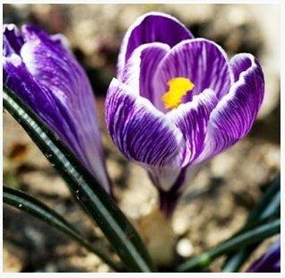 Galleria fotografica nave libera Zafferano semi, semi Zafferano fiori, zafferano Crocus semi, non è la Bulbi zafferano - 20 Semi