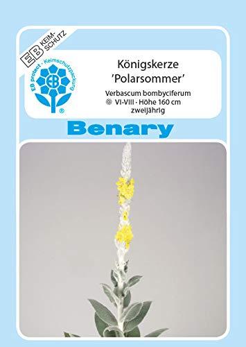 Königskerze, Verbascum bombyciferum, ca. 500 Samen