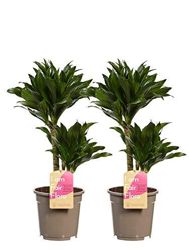Zimmerpflanze Lieferung als Stamm