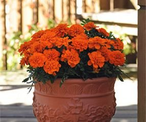 bobby-seeds-tagetessamen-bonanza-deep-orange-studentenblume-portion