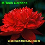 M-Tech Gardens Aiden Primrose Garden Nelumbo Nucifera Lotus Flowers Real Seed Water Plant (Dark Red) - Pack of 10 Seeds