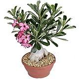 #7: Vedanta Sales Adenium Live Natural Plant(Pot Included)