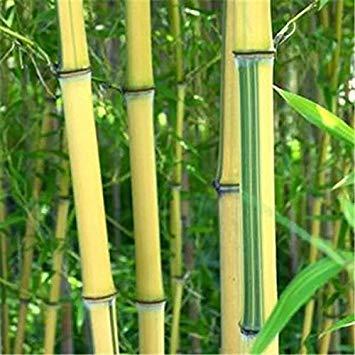 seme Aisan 20 giganti semi Moso bambù fresco per il giardino di casa fai da te Articoli per la casa albero di bambù Novel Bonsai Seed