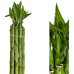 Inter Flower-10 unidad lucky bambú Bambú de la suerte 60cm largo ,recta