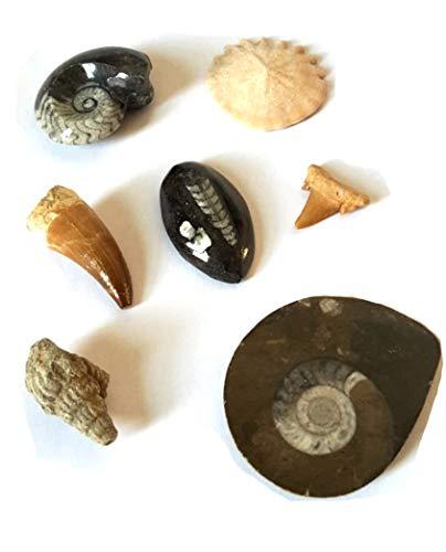 Fossilien Set - Sammlung von 7 echten, verschiedenen Versteinerungen als Basis-Set