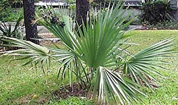 PlenTree Sabal Minor Dwarf Palmetto Palm 10 Seeds