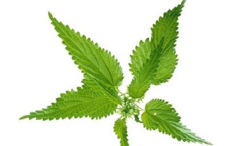 urtica-dioica-stinging-nettle-seeds-1g-approx-2000-seeds-herb-medicinal-wild-flower-meadows