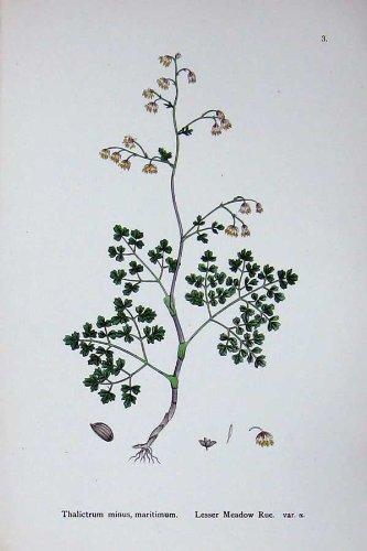 Botanik Pflanzt C1902 Wenig Wiesenraute Thalictrum Minus