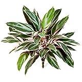 Cordyline fruticosa decorativa con 36 hojas, verde-rosa, 50 cm - Planta artificial / Mata sintética - artplants