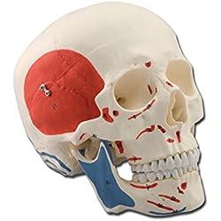 Modelo anatómico Calavera humano Masaje Cruz, 1x, desmontable en 3partes, para estudiantes, Universidad, didáctica