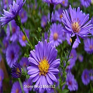 Homely 200pcs / pack véritables graines de marguerite graines de bonsaï graines de fleurs de jardin