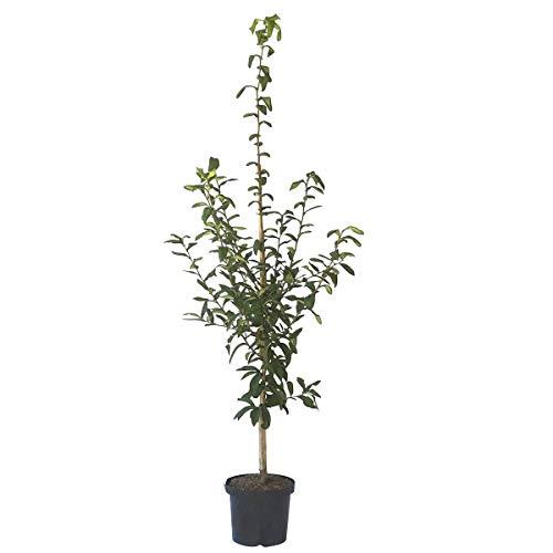 Müllers Grüner Garten Shop Rafzer Mispel veredelter Mispelbaum Mespilus germanica mittelgroße Früchte im 7,5-10 Liter Topf