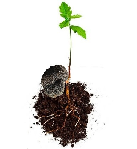 3 piante di roverella (Q. Pubescens) micorizzate al tartufo scorzone (Tuber Aestivum)