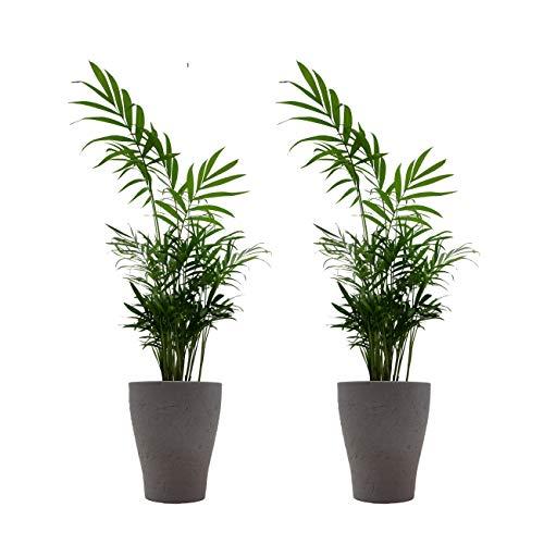 """Zimmerpalmen-Duo mit Keramik-Blumentopf """"Orchid umber"""" von Scheurich - 2 Pflanzen und 2 Dekotöpfe"""