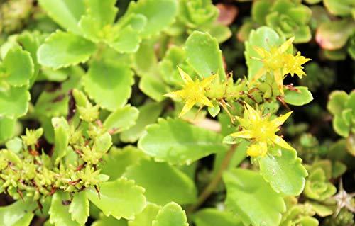 Sedum hybridum 'Immergrünchen' - 3 Pflanzen im 0,5 lt. Vierecktopf