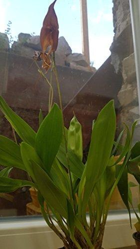 1x dracuvallia Mem. MARIA ARCILA monos Cara Orquídea Planta ORIGINAL NOVEDAD r69