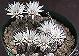 Farmerly Gymnocalycium Mesopotamicum, Exotic Fowering Flower Rare Cactus Cacti 100 Seeds