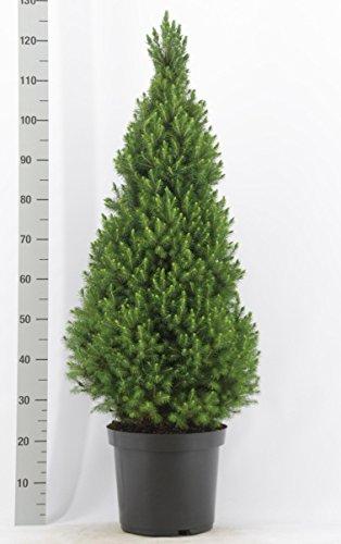 Weihnachtsbaum - Weißfichte - Picea glauca Conica - verschiedene Größen (130-140cm - Topf 10Ltr.)