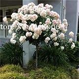 Bloom Green Co. 100 Unids/bolsa Genuino Fresco Raro Rosa Chinensis Dendroidal Rosa Flor Ãrbol Bonsái Regala Planta Amante Para Jardín de Casa 21 Colores: f