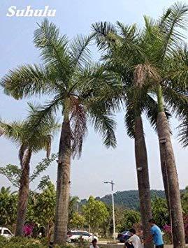 20 PC/Beutel importierte japanische Roystonea Pflanze Erbstück Perennial Außen Bonsai Topf Foliage Planta für Home Garten Bepflanzung: 9