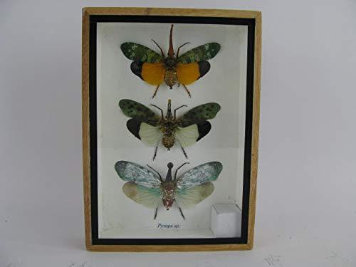 asiahouse24 3X Zanna nobilis - echte riesige und exotische Insekten im 3D Schaukasten, Bilderrahmen aus Holz - gerahmt - Taxidermy -Abbildung ähnlich (Abbildung ähnlich)