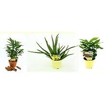Set Aloe vera + Kaffee + Zimt-Aroma, je 1 Pflanze
