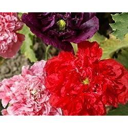 JustSeed Schlafmohn, Papaver Somniferum Double, Blumen, 400 Samen