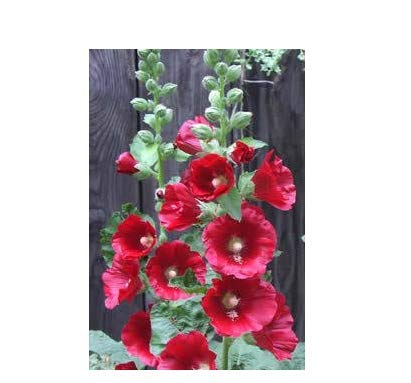 Hemore Fordhook Giant Hollyhock Mix 50 graines -Alcée Vivace