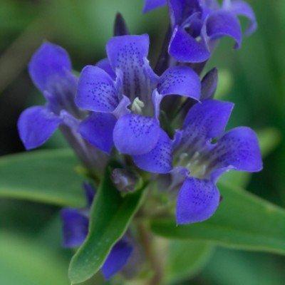 lichtnelke - Kreuz-Enzian (Gentiana cruciata) von Lichtnelke Pflanzenversand - Du und dein Garten