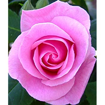 4lt Potted Hybrid Tea Garden Rose Bush Fabulous Lilac Purple Blooms with Amazing Strong Sweet Rose Fragrance Repeat Flowering Fragrant Plum
