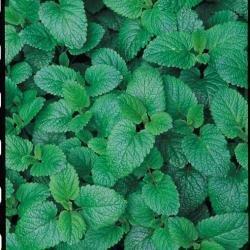 Suffolk Herbs Bildhaftes Paket Zitronenmelisse Melissa officinalis